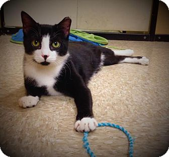 Domestic Shorthair Cat for adoption in Richmond Hill, Ontario - Tony