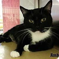 Adopt A Pet :: Amber - Fullerton, CA