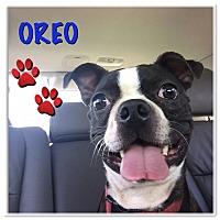 Adopt A Pet :: Oreo - Jackson, TN