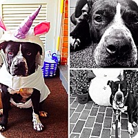 Pit Bull Terrier Mix Dog for adoption in Las Vegas, Nevada - Patty