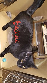 Maine Coon Cat for adoption in Gainesville, Virginia - Blackjack and Buddy