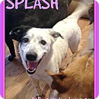 Adopt A Pet :: SPLASH - Middletown, CT