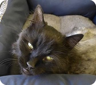 Domestic Longhair Cat for adoption in Westminster, Colorado - Spike