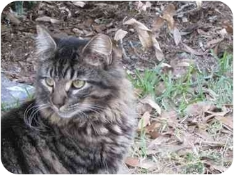 Domestic Longhair Cat for adoption in Sun City Center, Florida - Muffin