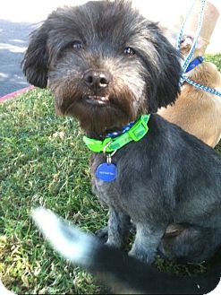 Havanese Mix Puppy for adoption in El Cajon, California - SAMMY