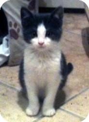 Chartreux Kitten for adoption in Denton, Texas - Vixen