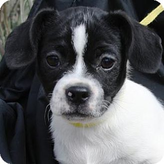 Pug/Terrier (Unknown Type, Small) Mix Puppy for adoption in Gilbert, Arizona - Ricardo