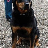 Adopt A Pet :: Sasha the Rottie D3162 - Shakopee, MN