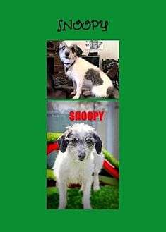Dachshund/Terrier (Unknown Type, Small) Mix Dog for adoption in Scottsdale, Arizona - Snoopy
