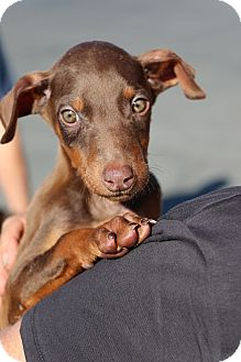 Doberman Pinscher/German Pinscher Mix Puppy for adoption in Fillmore, California - Kahuna