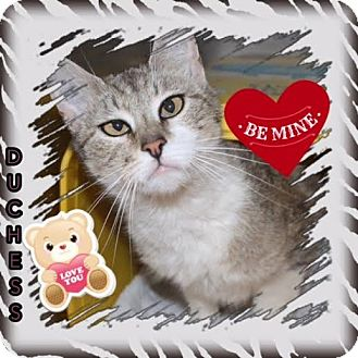 Domestic Shorthair Cat for adoption in Harrisburg, North Carolina - Duchess