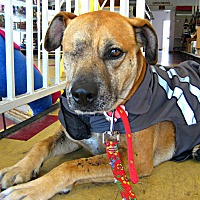 Adopt A Pet :: Scooby - Beverly Hills, CA