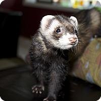 Adopt A Pet :: Twinkie - Chantilly, VA