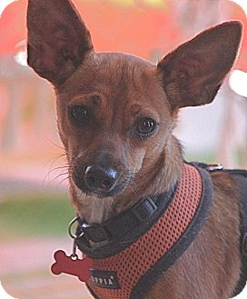 Dachshund/Chihuahua Mix Dog for adoption in Hollister, California - Roo