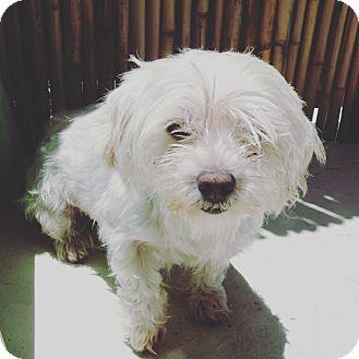 Maltese Mix Dog for adoption in Culver City, California - Fairy