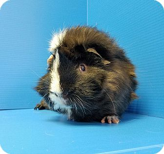 Guinea Pig for adoption in Lewisville, Texas - Sammy Hagar