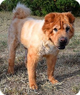 Chow Chow Mix Dog for adoption in Westampton, New Jersey - Buddy 32078327  *In Foster*