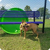 Boxer/German Shepherd Dog Mix Puppy for adoption in CASCADE, Wisconsin - Sassy