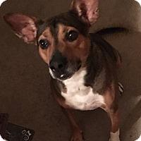 Basenji/Australian Cattle Dog Mix Dog for adoption in Kansas City, Missouri - Ringo