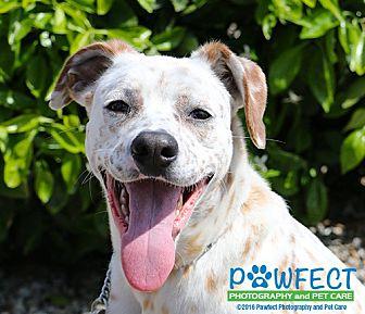 Dalmatian/Boxer Mix Dog for adoption in Gardena, California - Marie