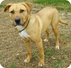 Labrador Retriever/Retriever (Unknown Type) Mix Dog for adoption in Lincolnton, North Carolina - Mia