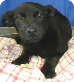 Australian Shepherd/Shepherd (Unknown Type) Mix Puppy for adoption in Lincolnton, North Carolina - Emmie