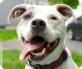American Pit Bull Terrier Mix Dog for adoption in Framingham, Massachusetts - Sparrow