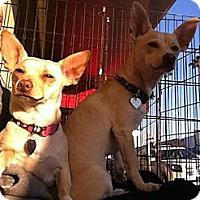 Adopt A Pet :: Stella - North Hollywood, CA