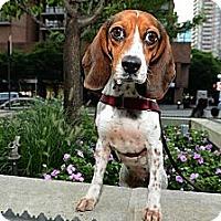 Adopt A Pet :: Emma - New York, NY