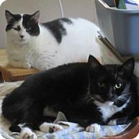 Domestic Shorthair Cat for adoption in Liberty, North Carolina - Chin Chin- NC