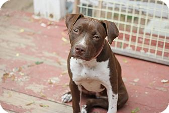 English Pointer Mix Puppy for adoption in New York, New York - MADDIE