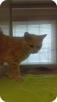 Domestic Shorthair Cat for adoption in South Haven, Michigan - Toby