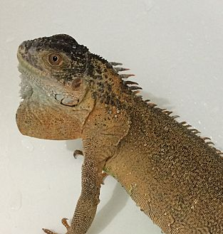 Iguana for adoption in St. Paul, Minnesota - Crimson