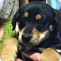 Adopt A Pet :: Kingston - Thousand Oaks, CA