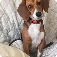 Adopt A Pet :: Dusty - greenville, SC
