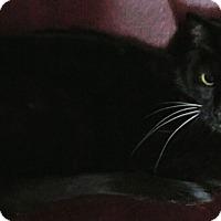 Adopt A Pet :: Bootsie Boop - Warren, MI