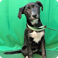 Adopt A Pet :: Brandy - San Diego, CA