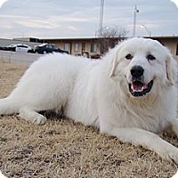 Great Pyrenees Dog for adoption in Oklahoma City, Oklahoma - GPRO Pyrs for Adoption