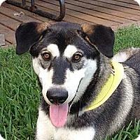 Adopt A Pet :: Chubs - Plano, TX