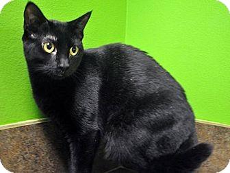 Domestic Shorthair Cat for adoption in Jupiter, Florida - Abbi