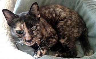 Domestic Shorthair Cat for adoption in Trenton, New Jersey - Raquel (LT)