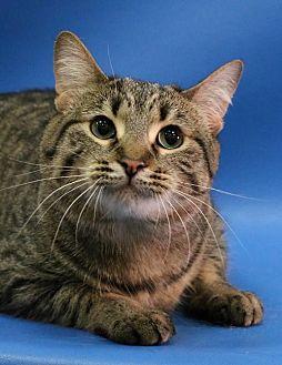 Domestic Shorthair Cat for adoption in Overland Park, Kansas - Penelope