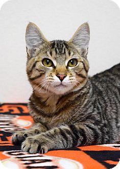 Domestic Shorthair Kitten for adoption in Dublin, California - Hunter
