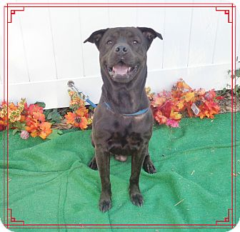 Labrador Retriever/Boxer Mix Dog for adoption in Marietta, Georgia - MARVIN