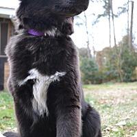 Adopt A Pet :: Layla - Woodstock, GA