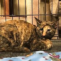 Adopt A Pet :: Hillie - McKinney, TX