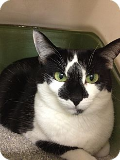 Domestic Shorthair Cat for adoption in Chandler, Arizona - Olivia