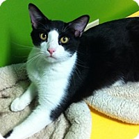 Domestic Shorthair Cat for adoption in Topeka, Kansas - Mr. T