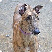 Adopt A Pet :: Striker (KB's Strike Off) - Chagrin Falls, OH