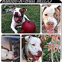 Adopt A Pet :: Milo - Orlando, FL